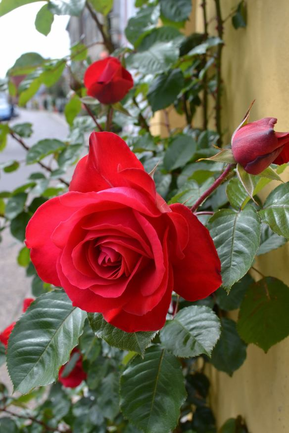 Den fina röda rosen