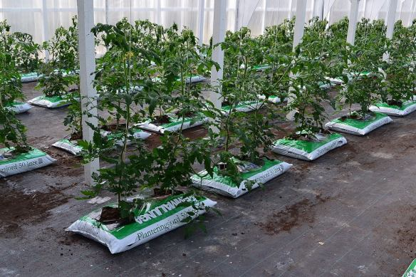 3 tomatplantor